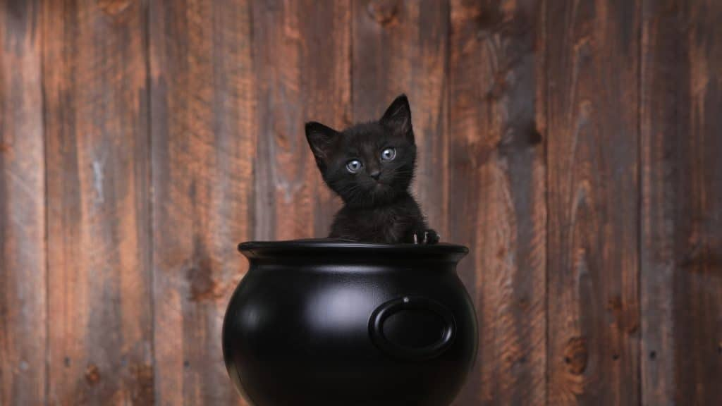 cute black cat, halloween